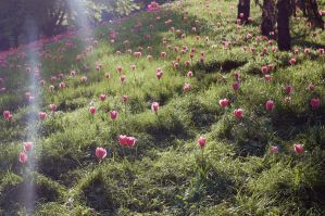 tulips by Galaher