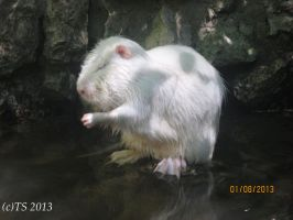 White Nutria by The--Silver