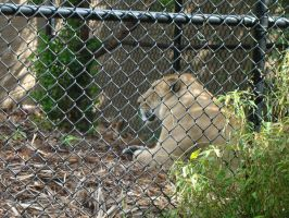 It's a Liger by Tymuthus