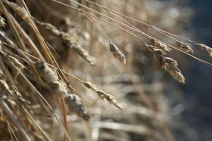 Wheat by TMartens