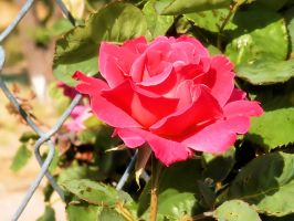 Rose Two by CharlesNissen