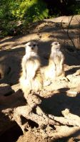 Meercats by JeanLuc761