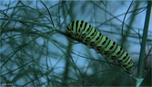 Caterpillar Swallowtail by Escara40