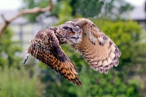 Eurasian Eagle-Owl by hoodoo