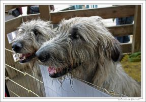 Irish Wolfhounds by oOBrieOo