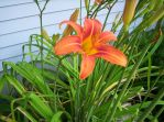 Orange Lily by TerraGirl16
