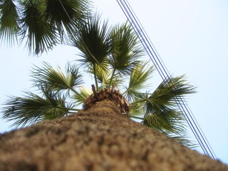 palm tree by FaceyFace