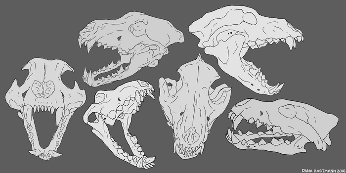 Wolf Skull Study by kitty-skeleton