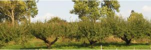 Row of apple-trees by Kattvinge