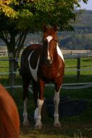 American Saddlebred Stock 43 by LuDa-Stock