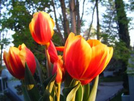 tulips by cianna