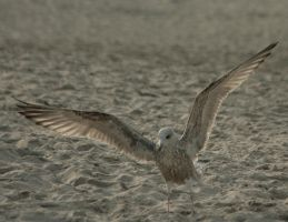 seagull1 by Drezdany-stocks