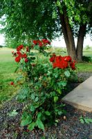 Roses in the Yard by MNgreen