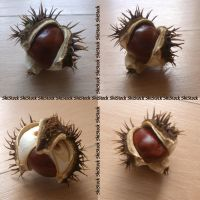 Conker by ShiStock