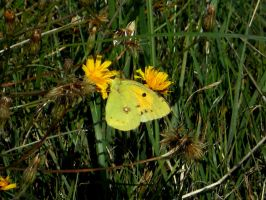 Yellow butterfly by SniffBlack