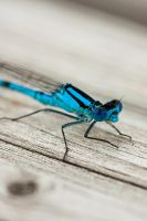 Blue eyed damselfly by imaagination