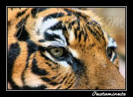Eye of the Tiger by Justaminute