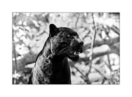 Black and White Panther by Dr-Koesters