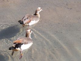 Egyptian Geese by Deede25
