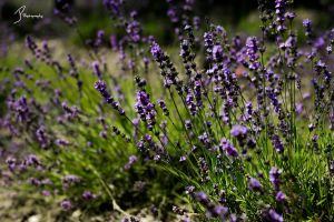 Lavender by KingPinPhotography