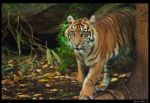 Melbourne Zoo- Tigers by DanielleMiner