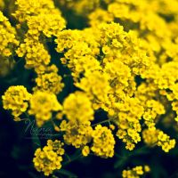 Yellow by NanaPHOTOGRAPHY