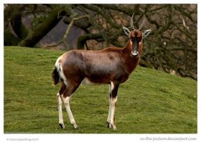 Blesbok On Guard by In-the-picture