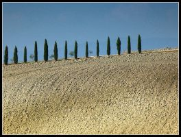 Cypress trees in a row by kanes