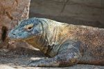 komodo dragon by Marilor