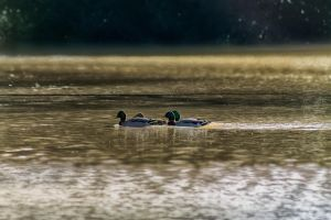 Les Canards by hubert61