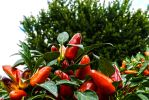 HDR Peppers by RRGreiner