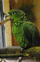 Green parrot by Little--Decoy