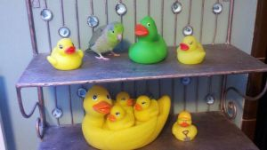 Which duck does not belong by Shulky
