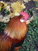 autumn rooster. by only-Freak-by-nature