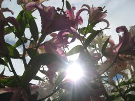 Sun in the Lillys by rockmashane