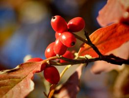 Autumn Berries 2 by Tailgun2009