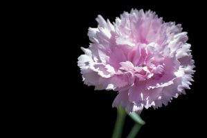 G92 0683 Floral Pinks by Partists