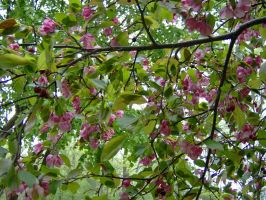 Wisconsin in May- Crabapple by SerroMau
