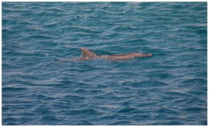 Lone Dolphin by archiejake