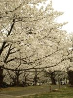 Full Bloom 2012 04 by freyiathelove
