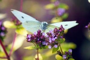 Large White (Pieris brassicae) by Steve-FraserUK