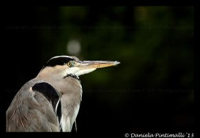 Blue Heron by TVD-Photography