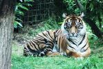Beautiful tiger   by sarahladlow