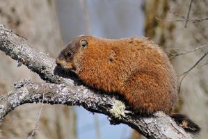 Groundhog 4 by LucieG-Stock