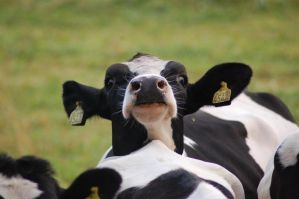 MooCow Close-up 12 by decors