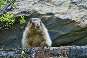 The Marmot by Joe-Lynn-Design