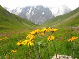 Alpine flowers II, Val Ferret, Italy by tompot