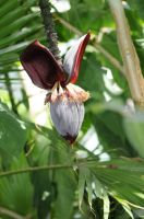 the banana flower by liviugherman