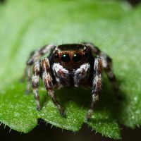 Jumping spider by JeremyRingma