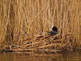 Coot 00 - Mar 12 by mszafran